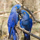 Pair of Hyacinth Macaw's Royalty Free Stock Photos