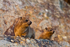 Pair of hyrax animals sitting on a rock stock photos