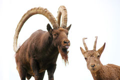 Pair of ibexes Royalty Free Stock Image