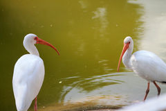 Pair of ibis in profile against green background Stock Image