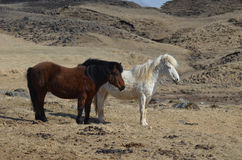 Pair of Icelandic Horses Royalty Free Stock Images