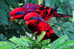A pair of identical red birds (lories) Stock Photo