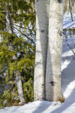 Pair if Aspens in the winter snow with a pine tree Royalty Free Stock Images