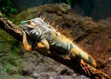 Pair of iguanas Royalty Free Stock Image