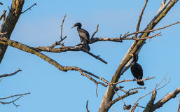 Pair of Immature Double crested Cormorants Phalacrocorax auritus sits way up high on a branch of a dead tree in summer sun. Immature Double-crested Cormorants Stock Photography