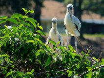Pair of immature Wood Storks Stock Image