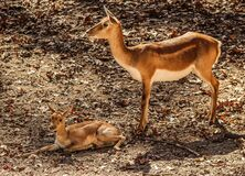 Pair of impalas Stock Images