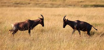 A pair of impalas fighting in masai mara game park royalty free stock photo