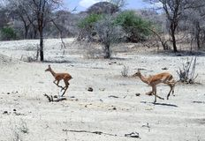 A Pair of Impalas Sprinting Tom Wurl Royalty Free Stock Images