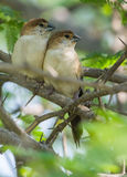 A pair of Indian Silverbill bird resting on a tree branch Royalty Free Stock Images