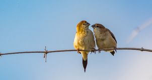 Pair of Indian Silverbills gossip stock photo