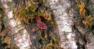 Pair of insects Pyrrhocoris apterus move on the bark of the tree looking for a den stock video