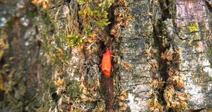 Pair of insects `Pyrrhocoris apterus` move on the bark of the tree looking for a den stock video