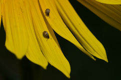 Pair of Insects Resting on the Yellow Petals of a Sunflower Stock Photos