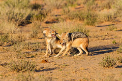 Pair of jackal fight over food in the Kalahari angry Stock Images