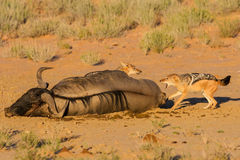 Pair of jackal fight over food in the Kalahari angry Stock Image