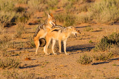Pair of jackal fight over food in the Kalahari angry Stock Photos
