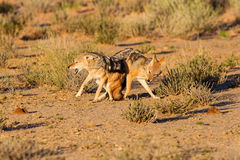 Pair of jackal fight over food in the Kalahari angry Royalty Free Stock Photos