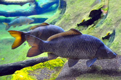 Pair of japanese carp Royalty Free Stock Images