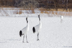 Pair of Japanese Cranes Courting on Snow Stock Photography