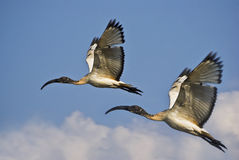 Pair of Juvenile African Sacred Ibis in Flight Royalty Free Stock Photography