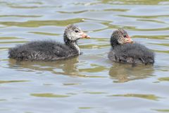 A pair of juvenile coots on the Ornamental Pond,  Southampton Common Royalty Free Stock Images