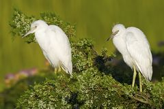 Juvenile Little Blue Heron Stock Photos