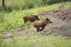Group of juvenile Wild boars in a forest during summer period. Pair of juvenile Wild boars in a forest during summer period Royalty Free Stock Photography