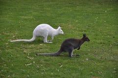 Pair of Kangaroos. A pair of kangaroos on a green lawn royalty free stock photo