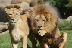 Pair of Katanga Lion - Panthera leo bleyenbergh Royalty Free Stock Photography