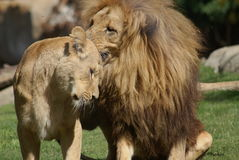 Pair of Katanga Lion - Panthera leo bleyenbergh Royalty Free Stock Image