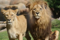 Pair of Katanga Lion - Panthera leo bleyenbergh Royalty Free Stock Images