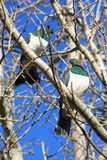 Pair of Kereru in Winter Garden Stock Photography