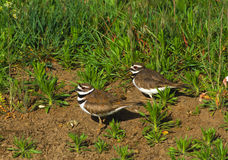 Pair of Killdeer. A pair of killdeer standing in some weeds royalty free stock photo