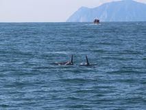 A pair of killer whale dorsal fins are visible above the waters of the Pacific Ocean near the Kamchatka Peninsula, Russia. The killer whale or orca Orcinus orca stock photography