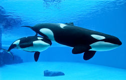 A pair of killer whales. Swimming together stock photo