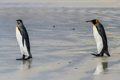 A pair of king penguins come one after the other. On the wet sand to the water, Falkland Islands royalty free stock photography