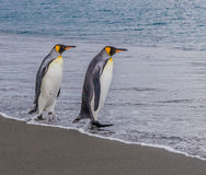 Pair of King penguins enter the water on South Georgia Stock Photos