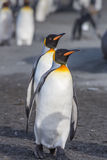 Pair of King Penguins. Mates for life, walking on beach during breeding season Royalty Free Stock Photography