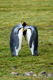 Pair of King Penguins participating in a bonding ritual, standing tall facing each other, heads resting together, on the grassy Sa. Lisbury Plain, South Georgia stock photos