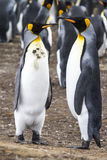 Pair of King Penguins Stock Image