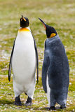 Two king penguins stays Royalty Free Stock Photos