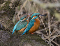 Pair of kingfisher sitting together on a branch. Pair of eurasian kingfisher - common kingfisher - river kingfisher - alcedo atthis - alcedinidae - sitting close royalty free stock image