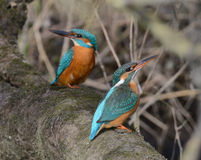 Pair of kingfisher sitting together on a branch. Pair of eurasian kingfisher - common kingfisher - river kingfisher - alcedo atthis - alcedinidae - sitting close royalty free stock photo