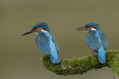 A pair of kingfishers Royalty Free Stock Image