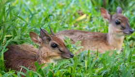 A pair of Kirk`s dik-dik. stock photo
