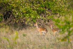 Pair Kirks Dikdik, Forest Edge, Kenya Royalty Free Stock Photos