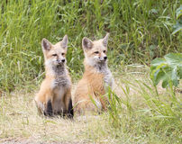 Pair of kit foxes posing for camera looking to right Stock Image