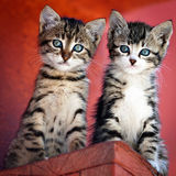 Pair of kittens. Portrait of a gray tiger kittens curiously looking from a roof of a street building against red background stock images