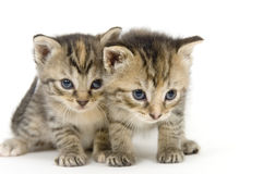 Pair of kittens on white backgroun Royalty Free Stock Images